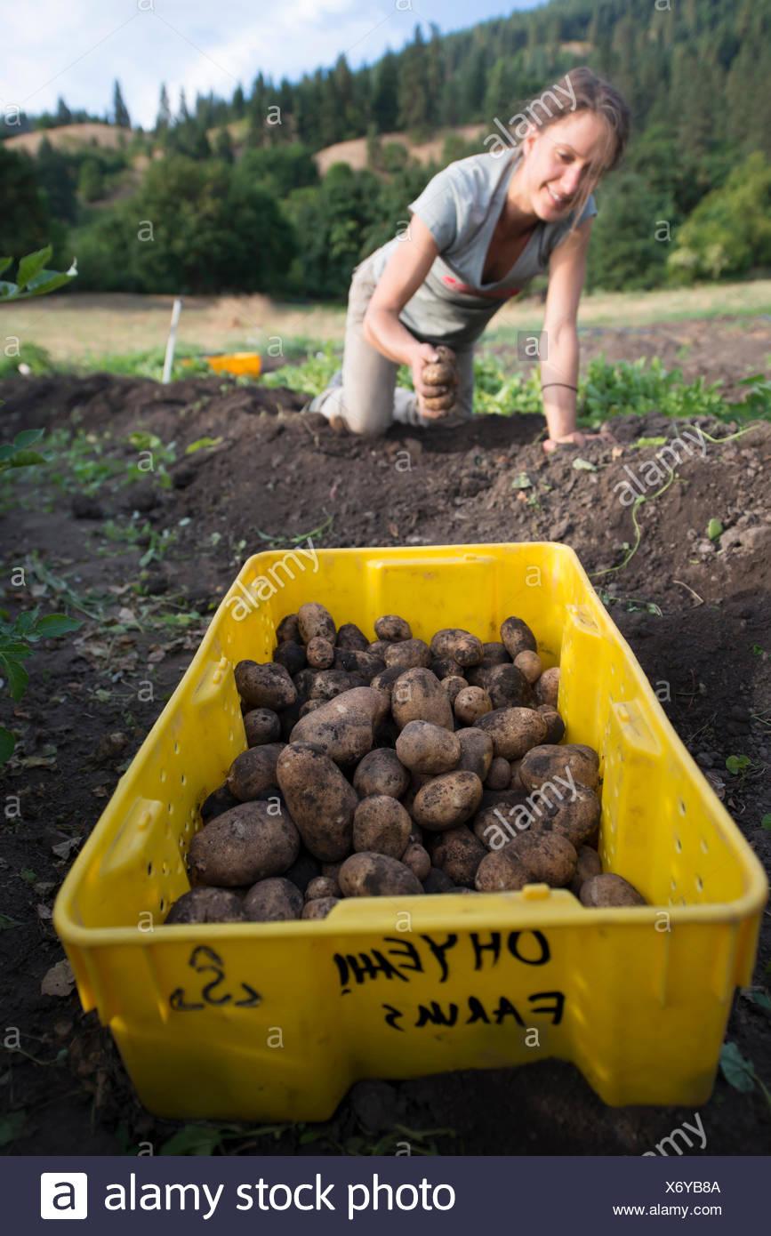 Havesting organic potatos. - Stock Image