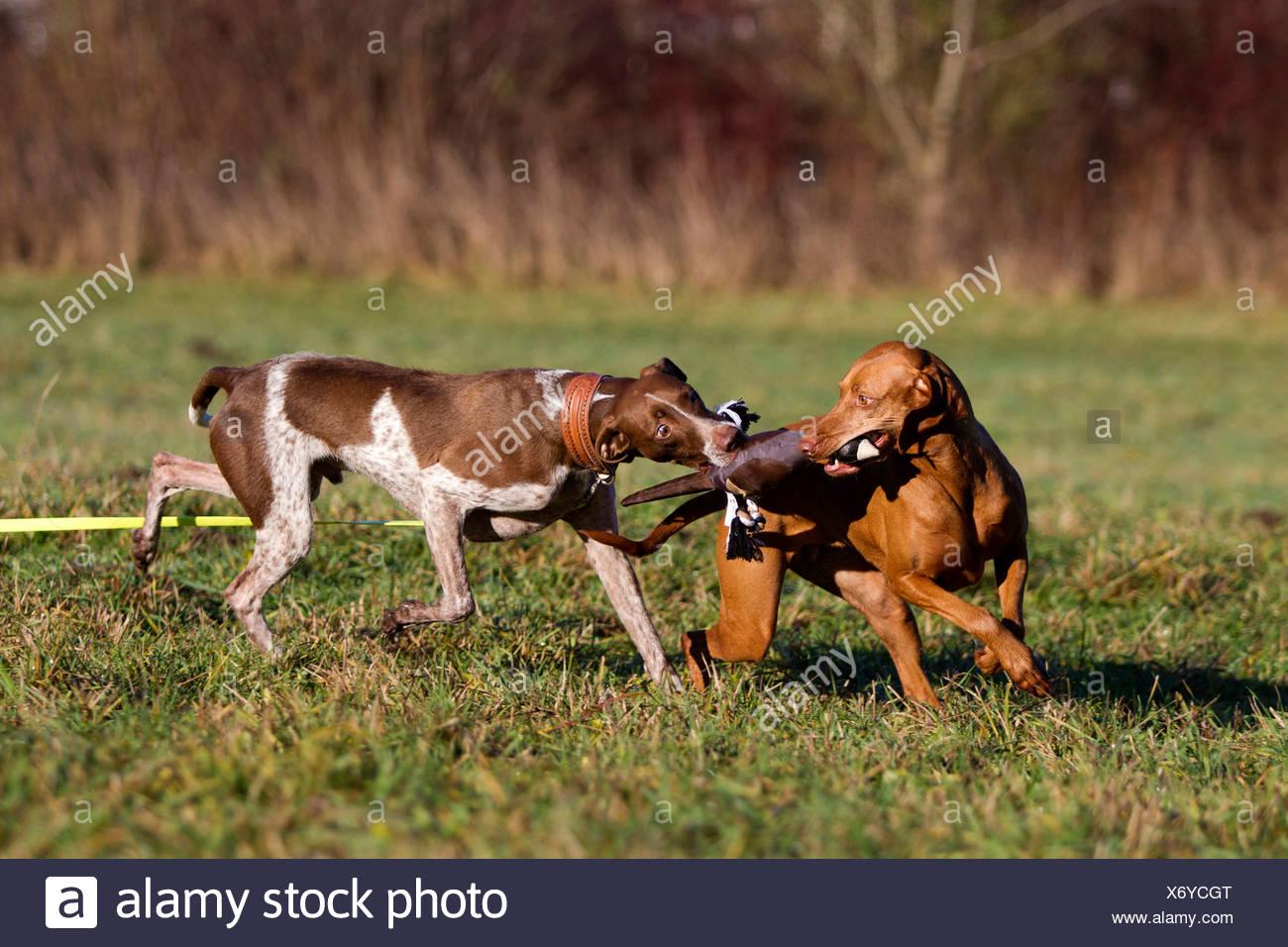 Breed dog fighting