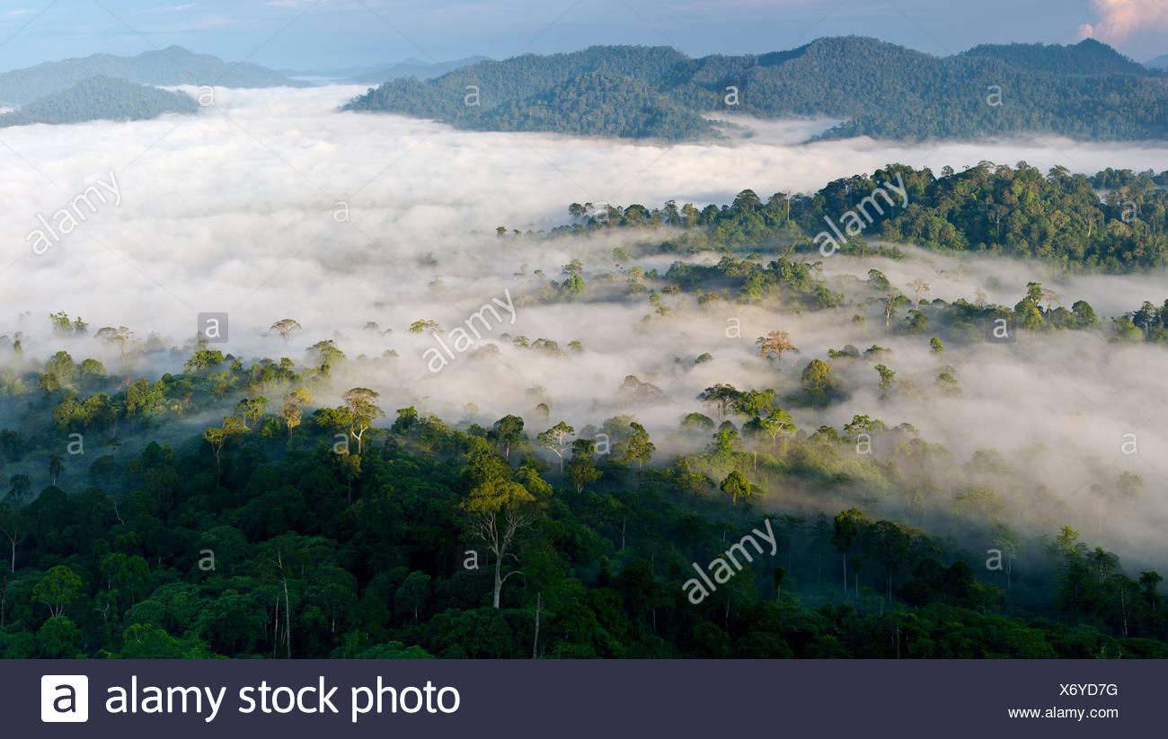 Mist hanging over Lowland Dipterocarp Rainforest just after sunrise. Danum Valley Conservation Area, Sabah, Borneo. - Stock Image