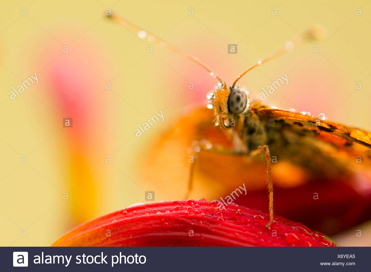 Detail of a Melitea still unable to fly and covered with dew. Lombardy, Italy - Stock Image