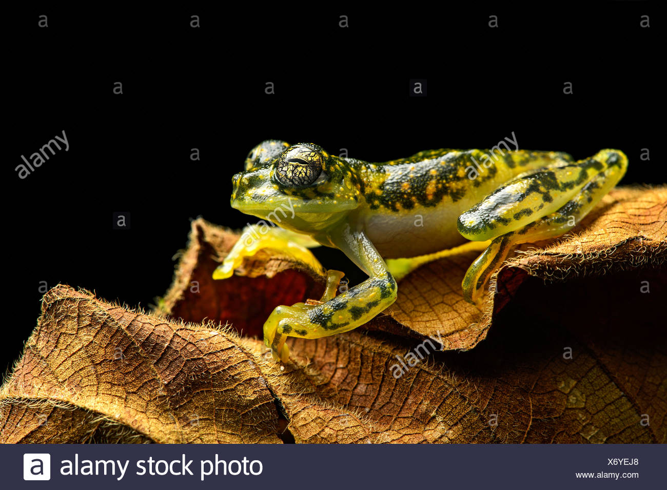 White-spotted Cochran Frog (Sachatamia albamoculata) sitting on leaf, Choco rainforest, Canande River Nature Reserve, Ecuador Stock Photo