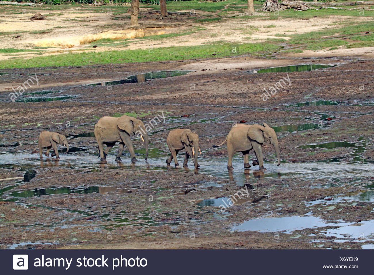 Forest elephant, African elephant (Loxodonta cyclotis, Loxodonta africana cyclotis), herd walking in the forest clearing, Central African Republic, Sangha-Mbaere, Dzanga-Sangha Stock Photo