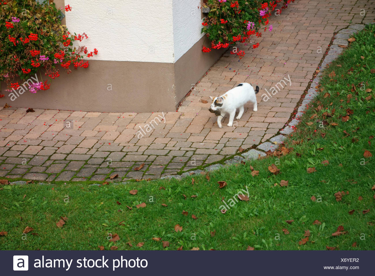 cat hast killed a mouse - Stock Image