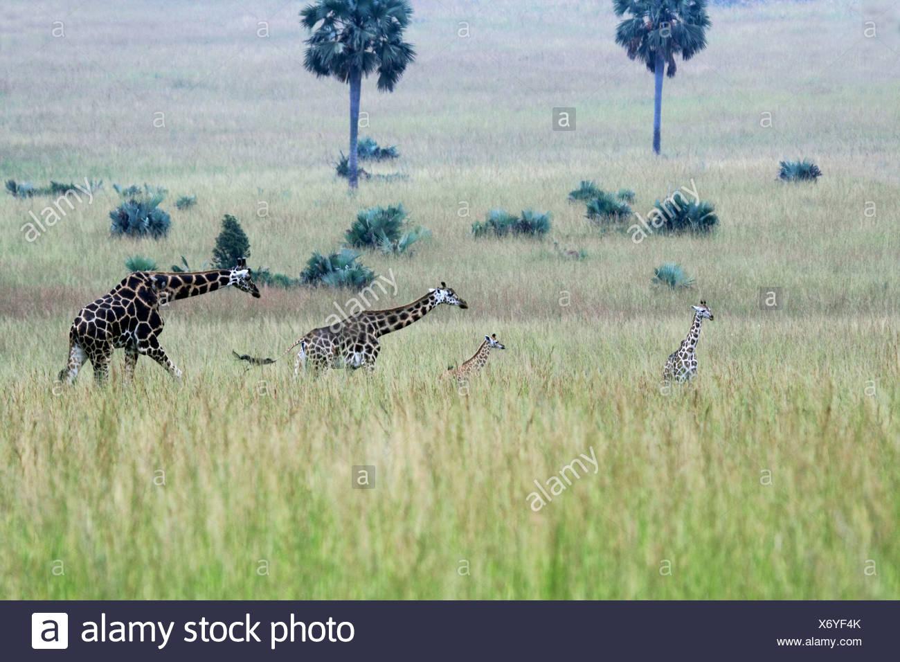 Rothschild's giraffe, Rothschild giraffe, Baringo Giraffe, Ugandan Giraffe (Giraffa camelopardalis rothschildi), two adult and two young animals in the savanna, Uganda, Murchison Falls National Park - Stock Image