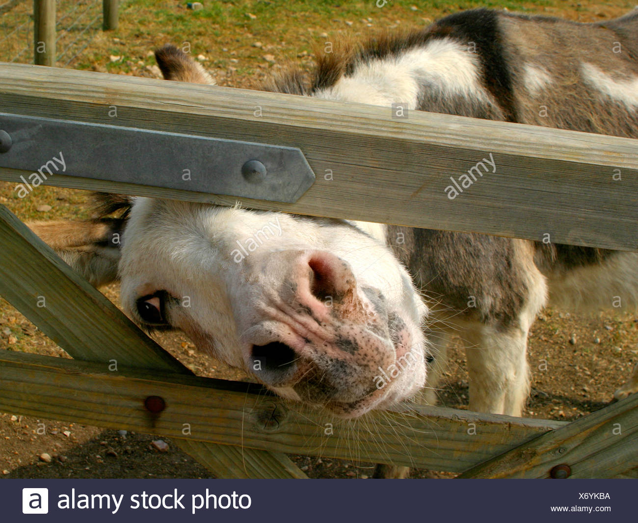 Donkey peering from a gate. - Stock Image