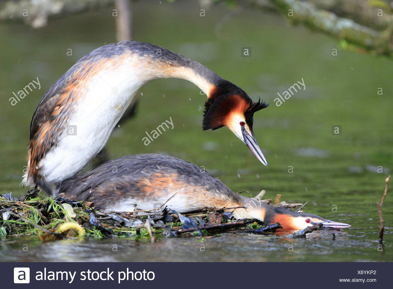 Great Crested Grebes, pair, mating, North Rhine-Westphalia, Germany / (Podiceps cristatus) / side - Stock Image