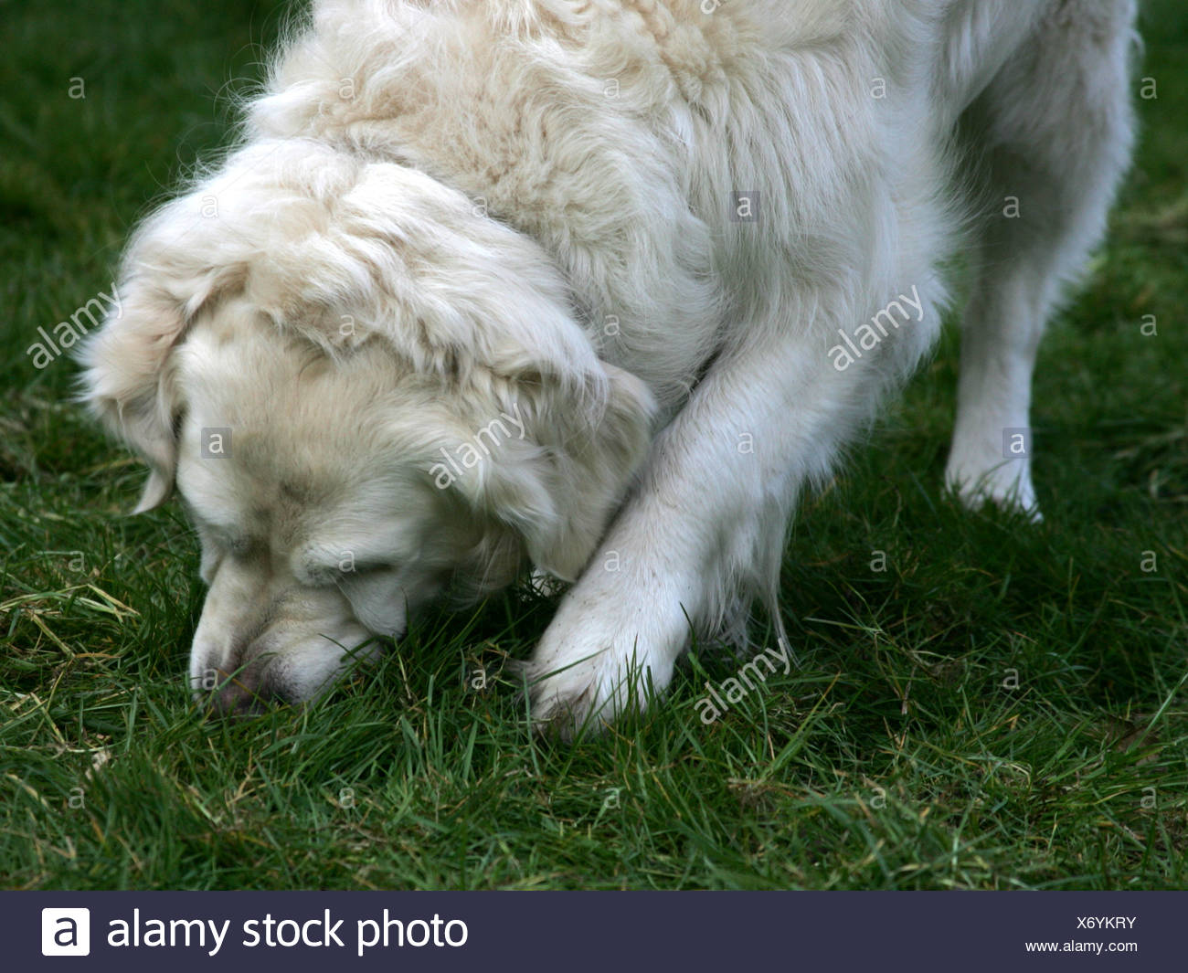 A golden retriever chewing the grass at home. - Stock Image