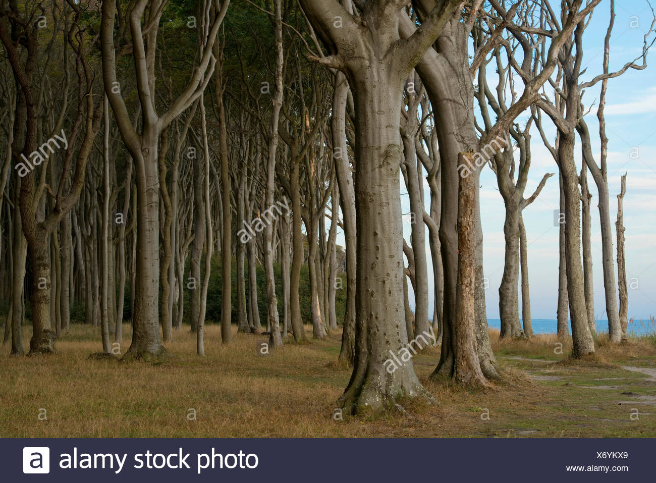Ghost Forest, beech forest, European Beech or Common Beech trees (Fagus sylvatica), Nienhagen, Mecklenburg-Western Pomerania - Stock Image