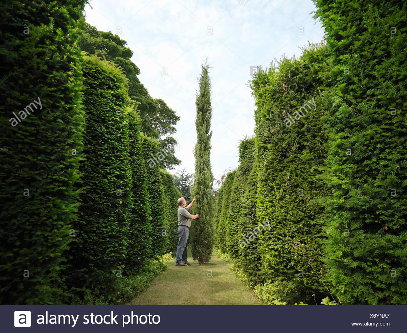 Gardener Inspecting Evergreen Trees - Stock Image