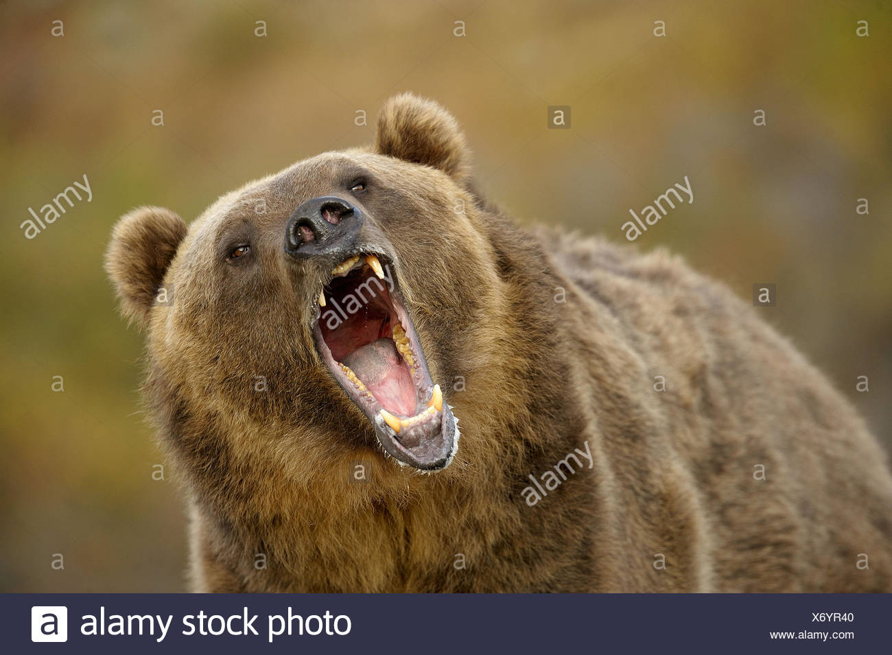 Grizzly bear Ursus arctos- captive snarling - Stock Image