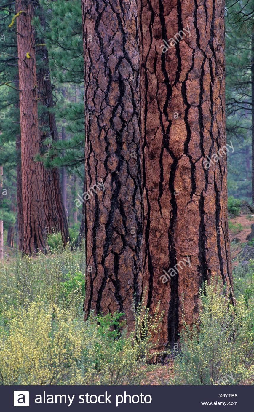 Ponderosa pine (Pinus ponderosa) trunk, Metolius Wild and Scenic River, Deschutes National Forest, Oregon. - Stock Image