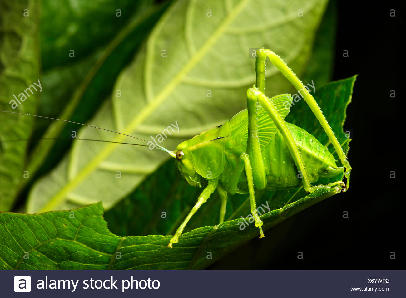Nymph of a katydid (Tettigoniidae), Andean cloud forest, Mindo, Ecuador Stock Photo