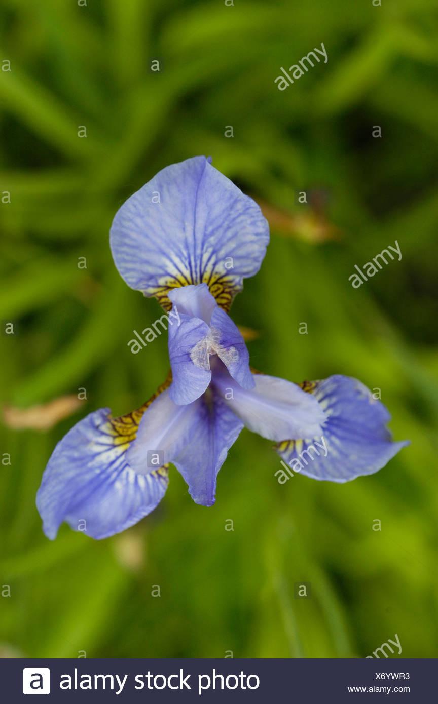 Blue Flower Kind Of Lily Stock Photo 279666775 Alamy
