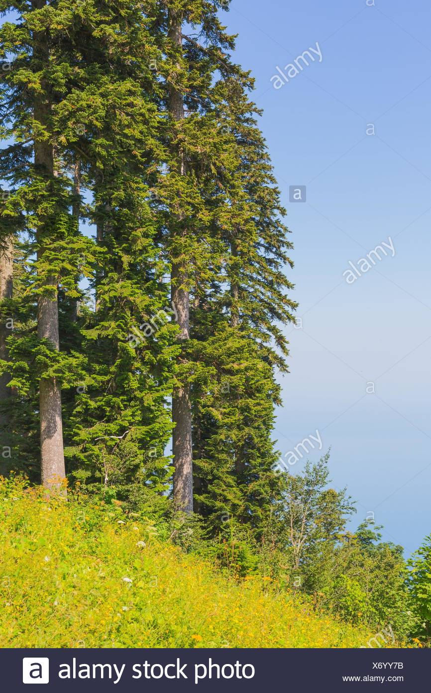 Natural view on spruces on green forest grass. - Stock Image