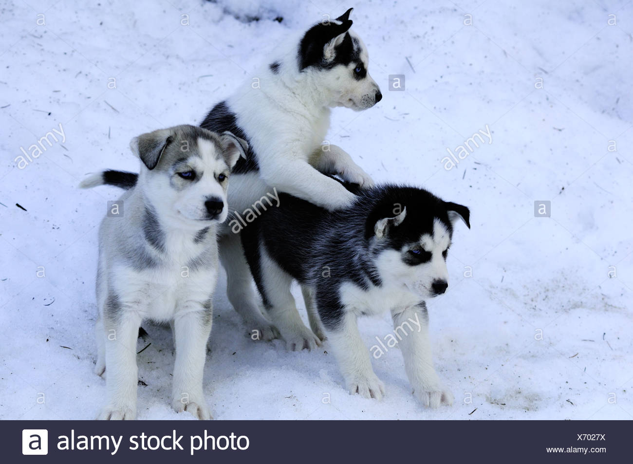 Six week old purebred Siberian Husky puppies in snow at Bright Angel Park, Cowichan Station, BC.  Model releae, Amber Lassooij) - Stock Image