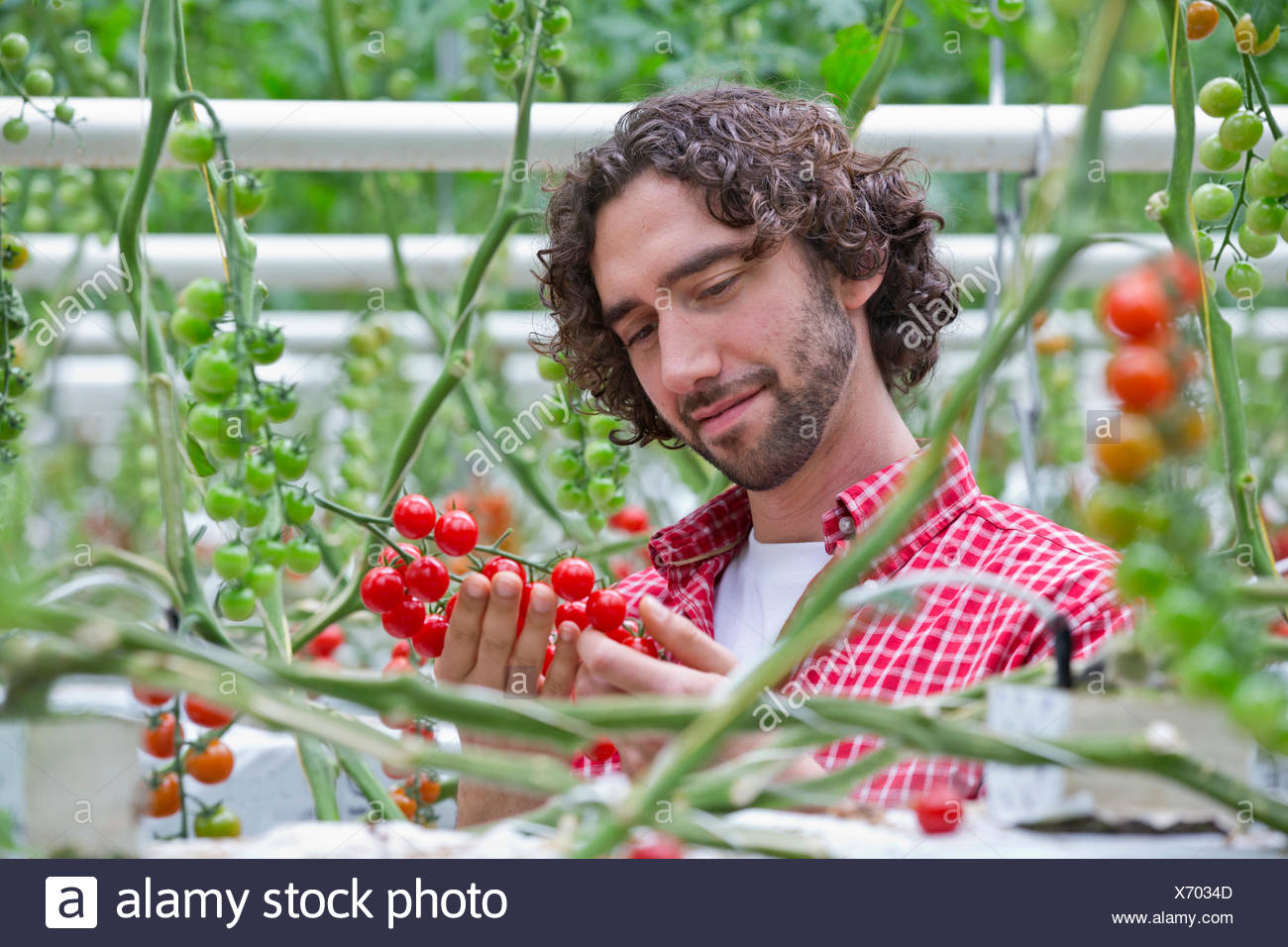 Grower examining ripe red vine tomatoes - Stock Image