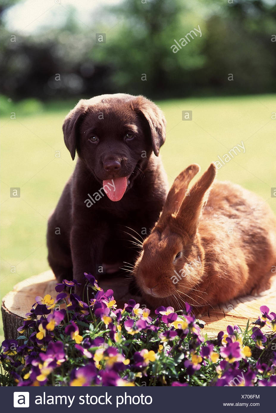 Garden, tree stump, rabbit, Labrador, young, sit, hatchel park, meadow, flowers, animals, pets, hare, Kanickel, young animal, puppy, dog, pedigree dog, young, animal friendship - Stock Image