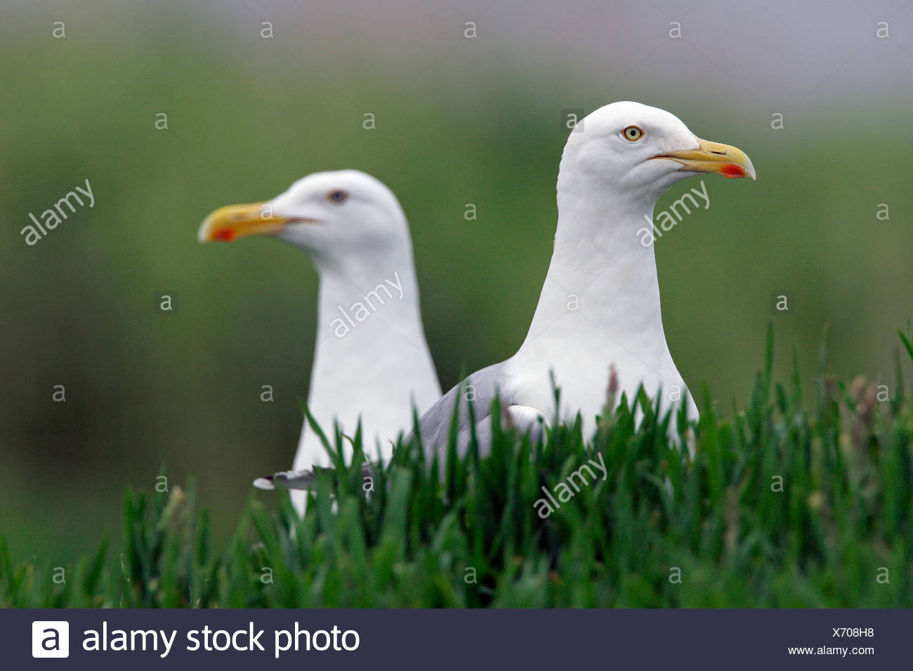 Herring gull – pair of herring gulls (Larus argentatus) Stock Photo
