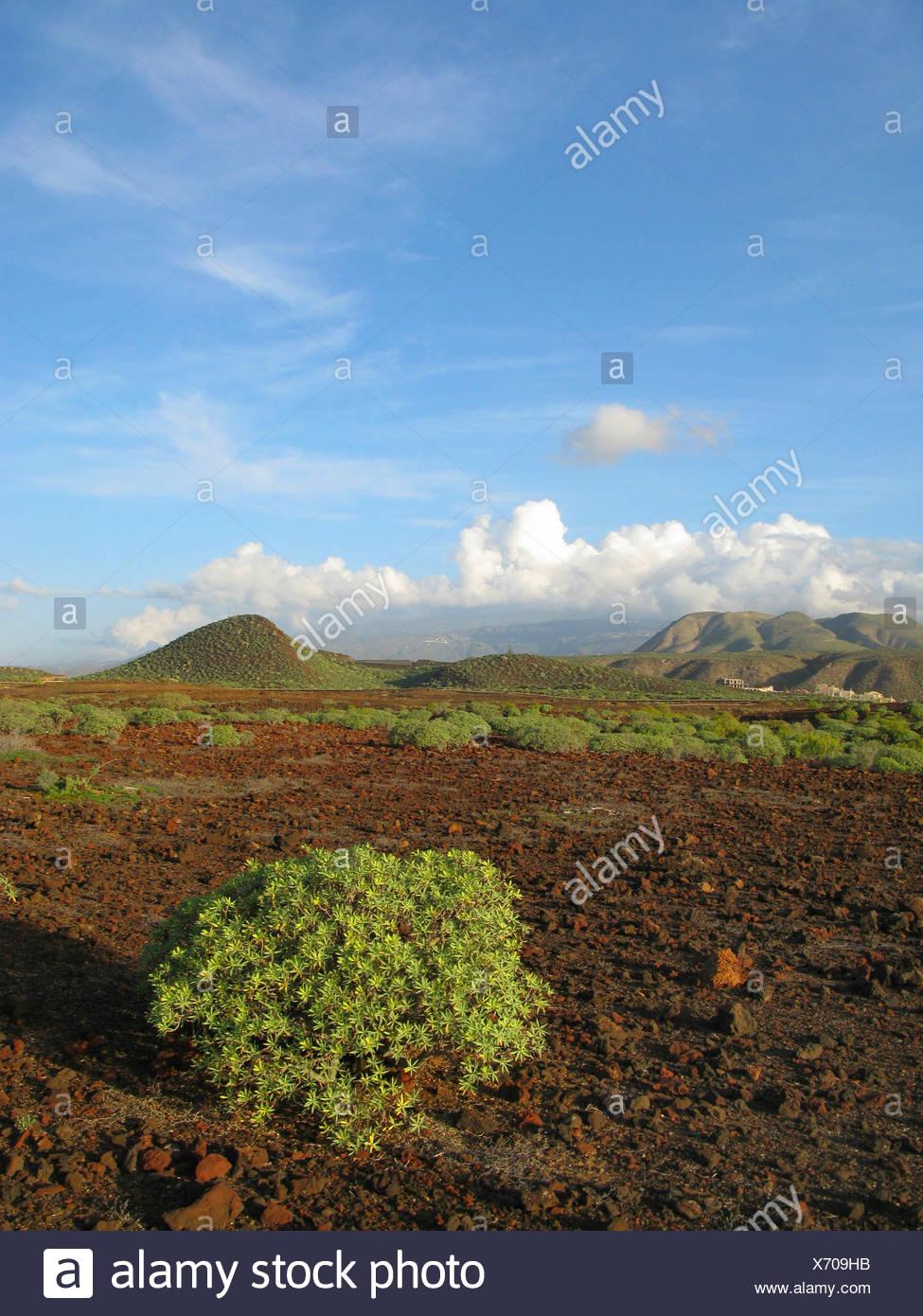 spurge (Euphorbia balsamifera), on volcanic rocks in the coastal aerea in the southwest, Canary Islands, Tenerife, Pal Mar - Stock Image