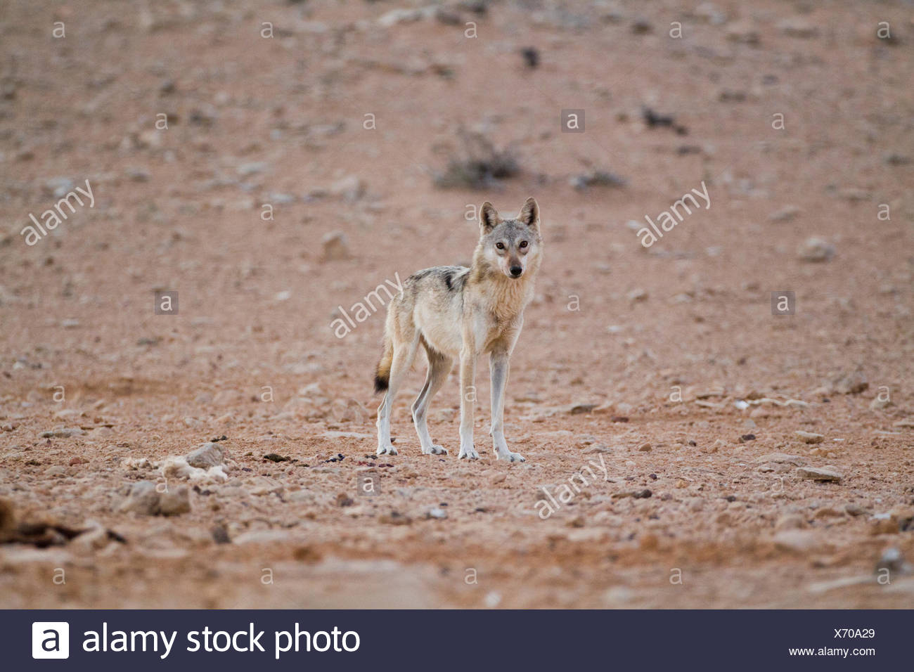 Arabian wolf (aka desert wolf Canis lupus arabs). This wolf is  subspecies of gray wolf. Photographed in Israel, Negev desert - Stock Image