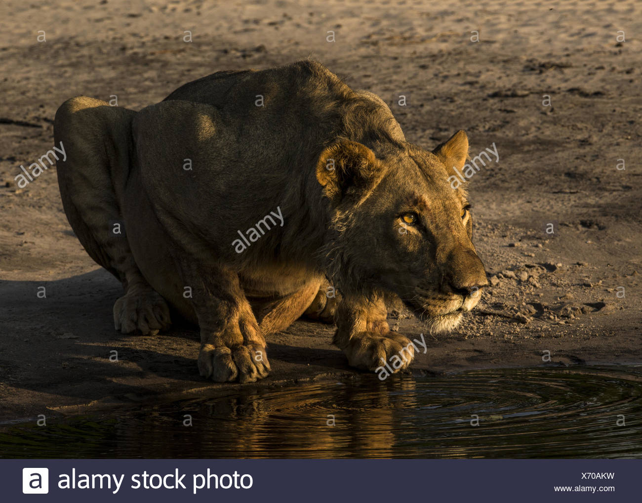 A young male lion, Panthera leo, surveys his surroundings before drinking from a spillway. - Stock Image