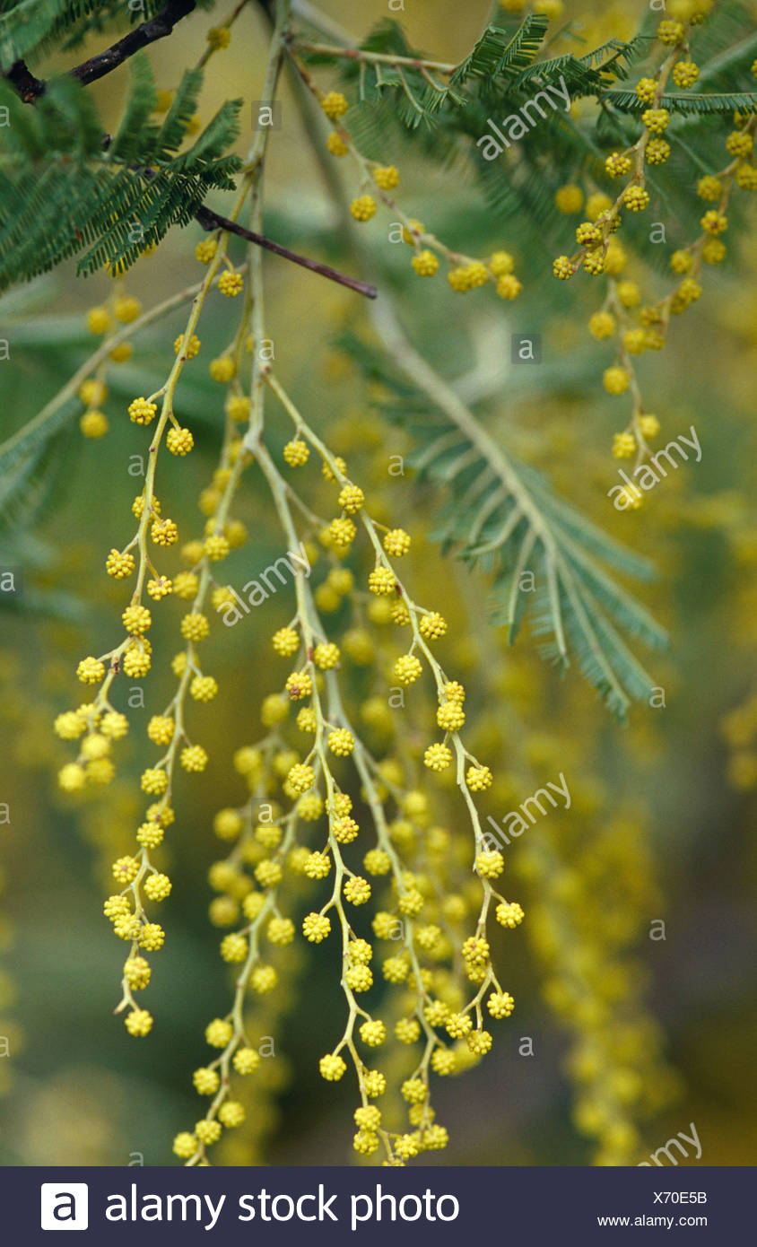 A Dense Cluster Of Flowers On The Black Wattle Acacia Mearnsii