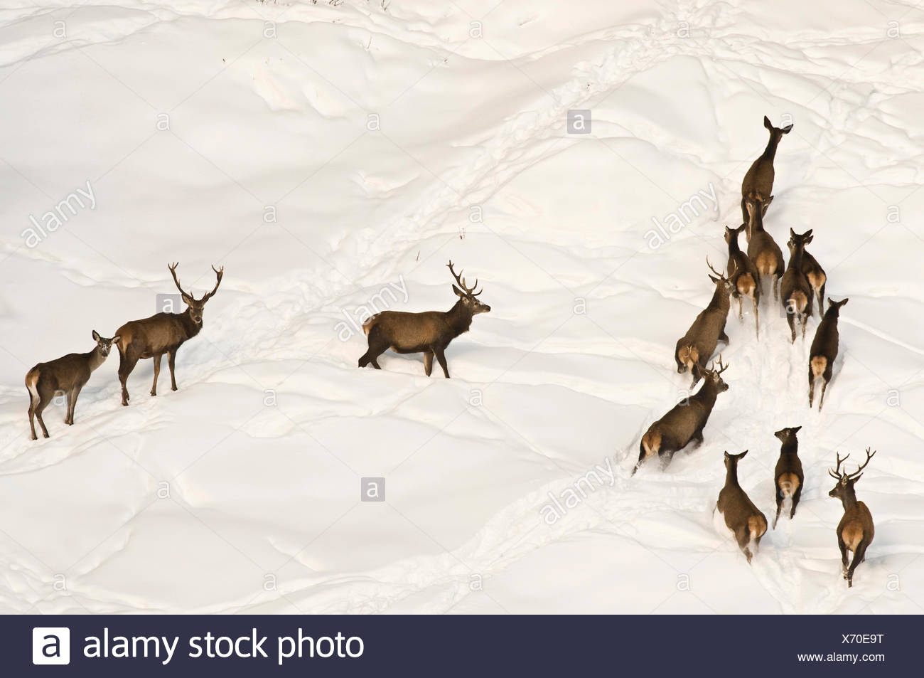 Red deer (Cervus elaphus) on a snow-covered cliff, High Alpine Nature Park of the Zillertal Alps, Tyrol, Austria, Europe Stock Photo