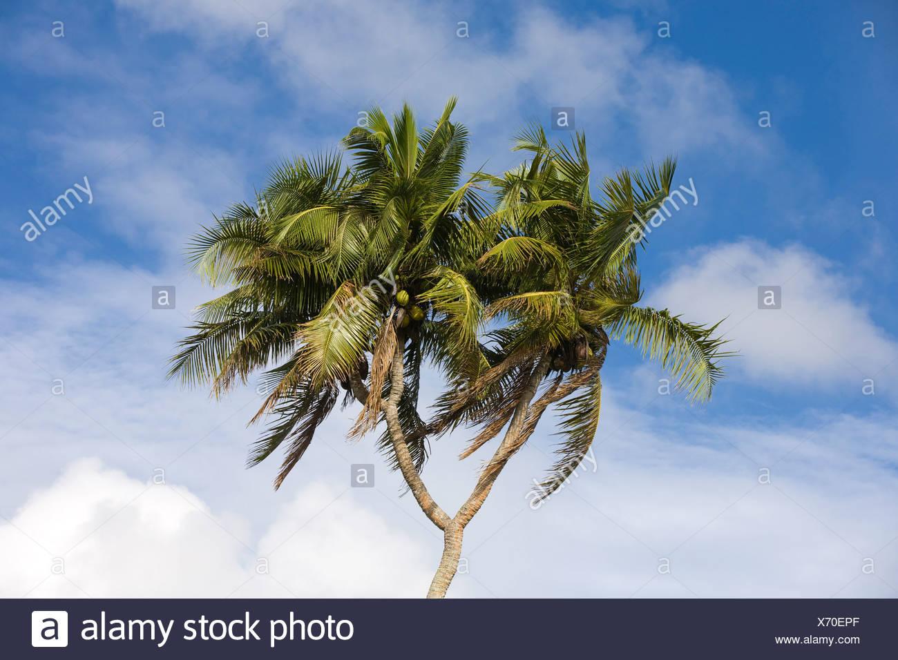 COCONUT PALM (Cocos nucifera). Tongatapu. Kingdom of Tonga Stock Photo