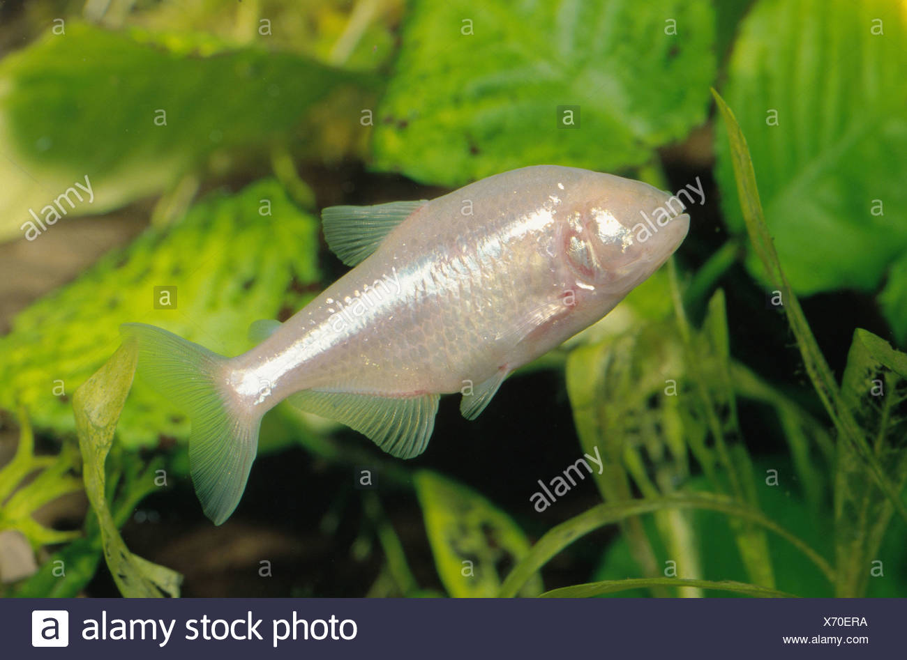 blind cave tetra, blind cavefish (Anoptichthys jordani, Astyanax fasciatus mexicanus), swimming in front of water plants - Stock Image