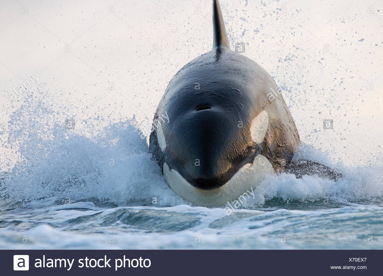 Orca (Orcinus orca) breaching, False Bay, South Africa - Stock Image