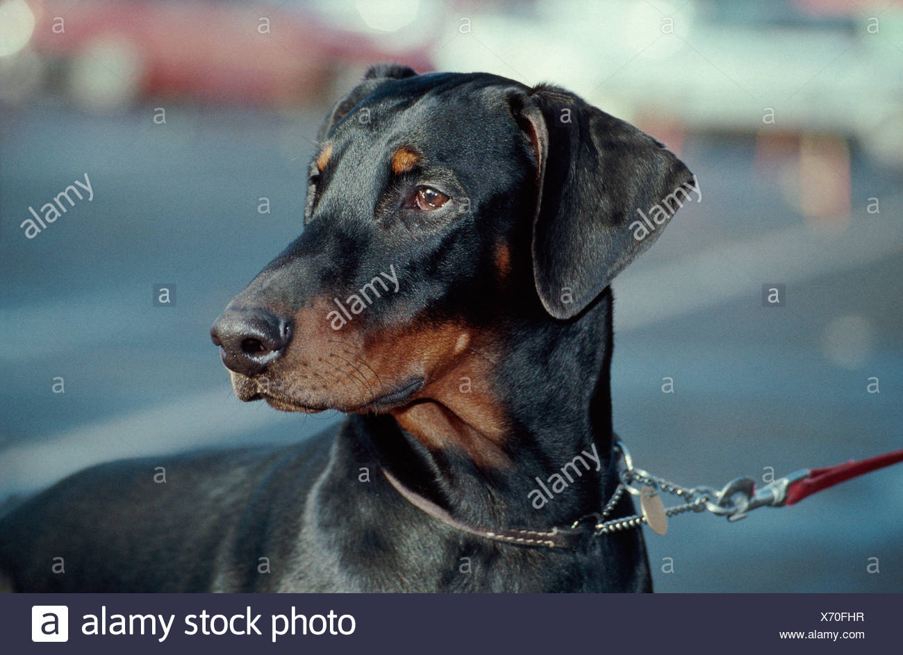 HEADSHOT OF ADULT DOBERMAN PINSCHER / IRELAND - Stock Image