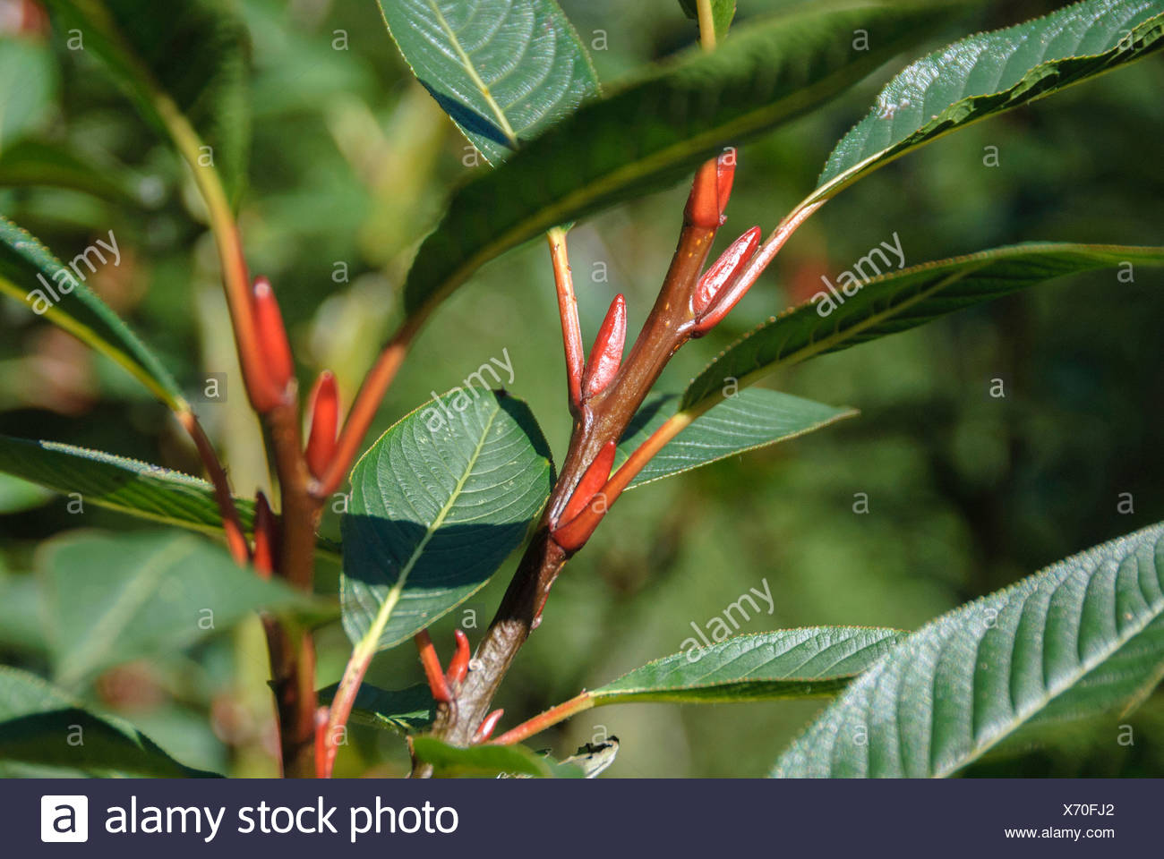Farges willow (Salix fargesii), branch with buds, Switzerland - Stock Image