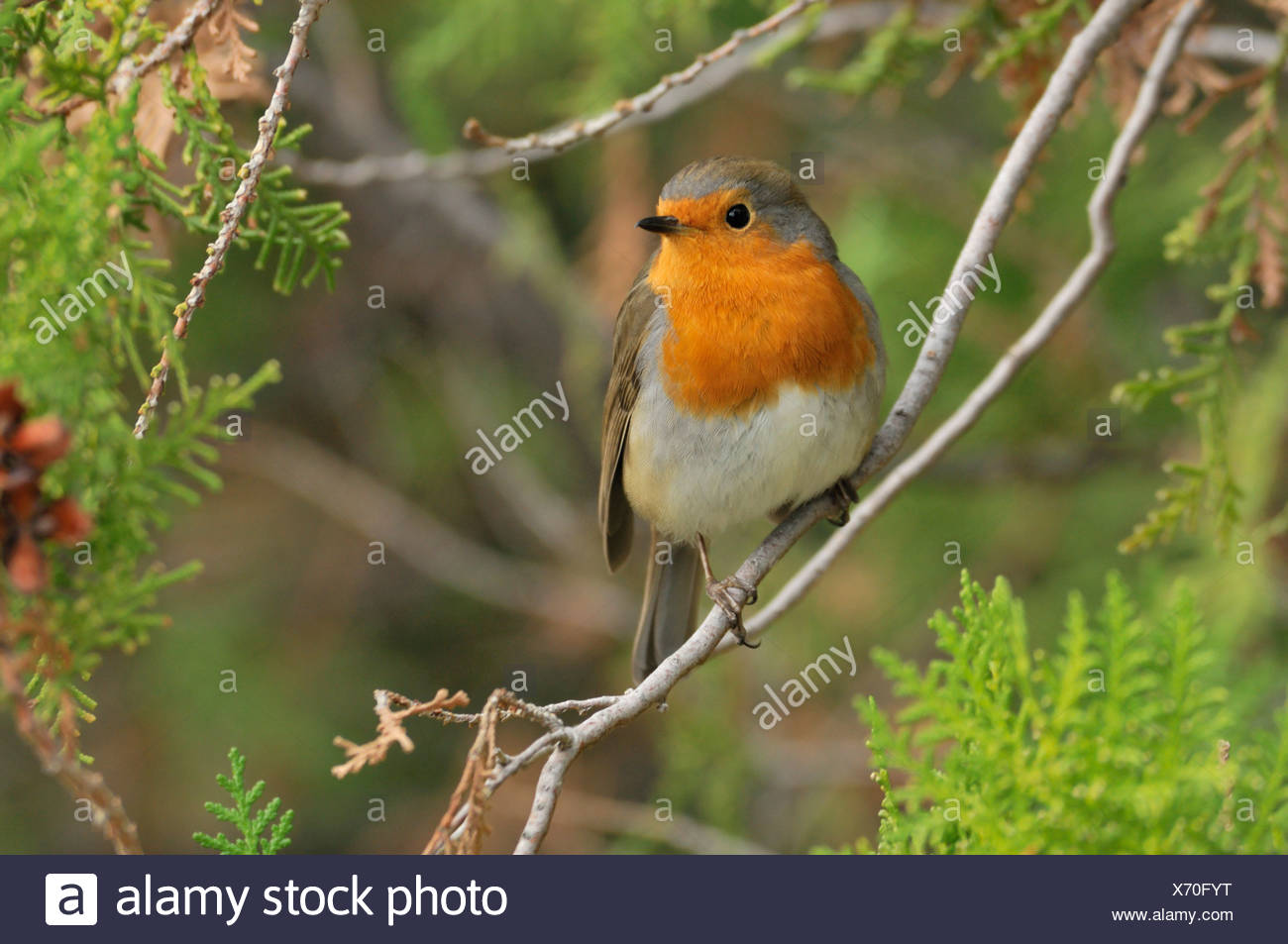 volwassen roodborst op tak; adult european robin on branch - Stock Image