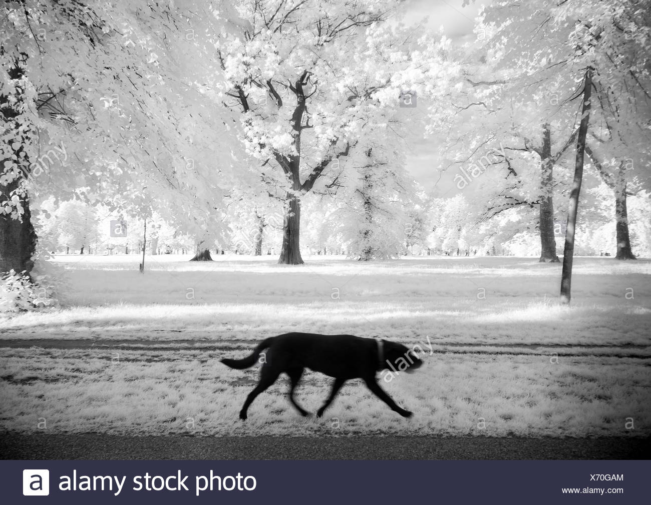 A black dog walking in a park - Stock Image