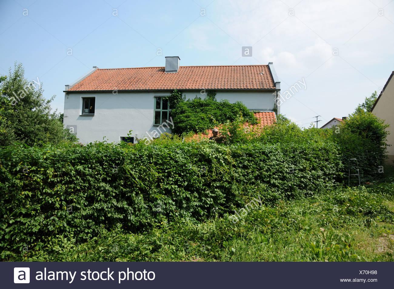 Shaped Hornbeam-Hedge - Stock Image