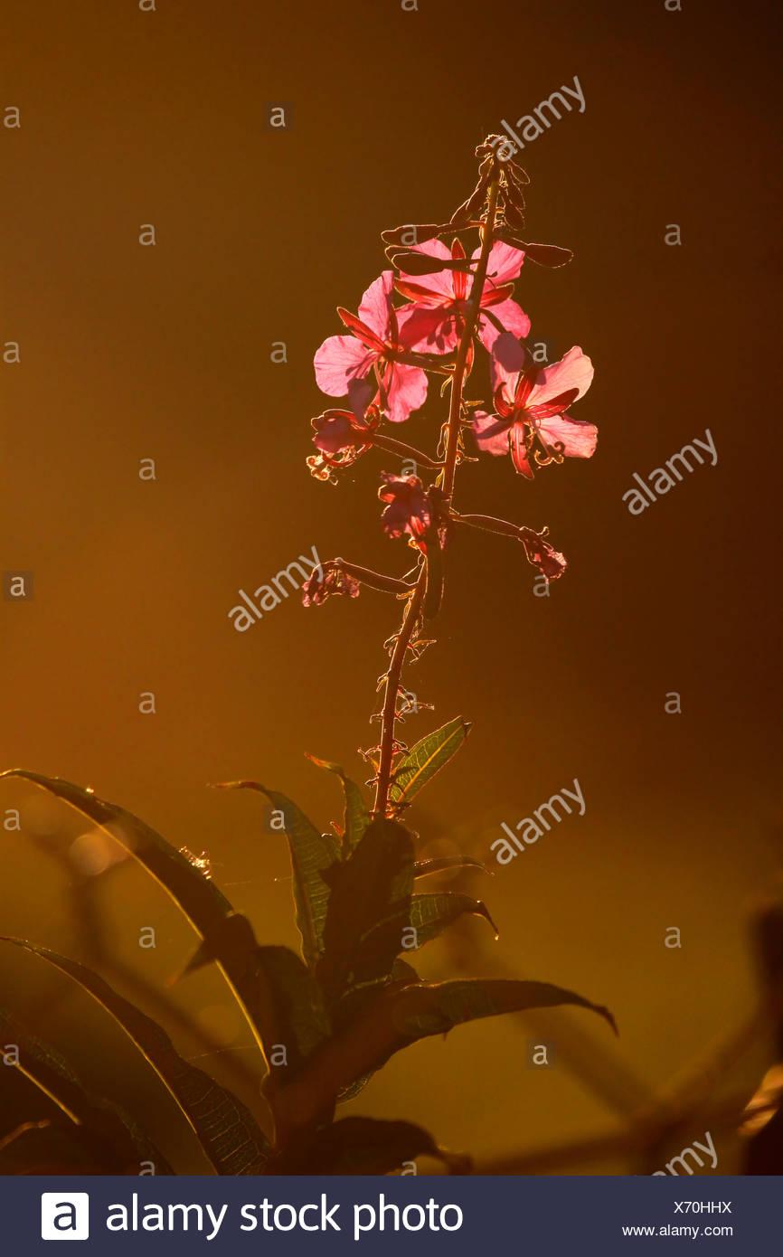 Fireweed Chamaenerion angustifolium  Alaska Stock Photo