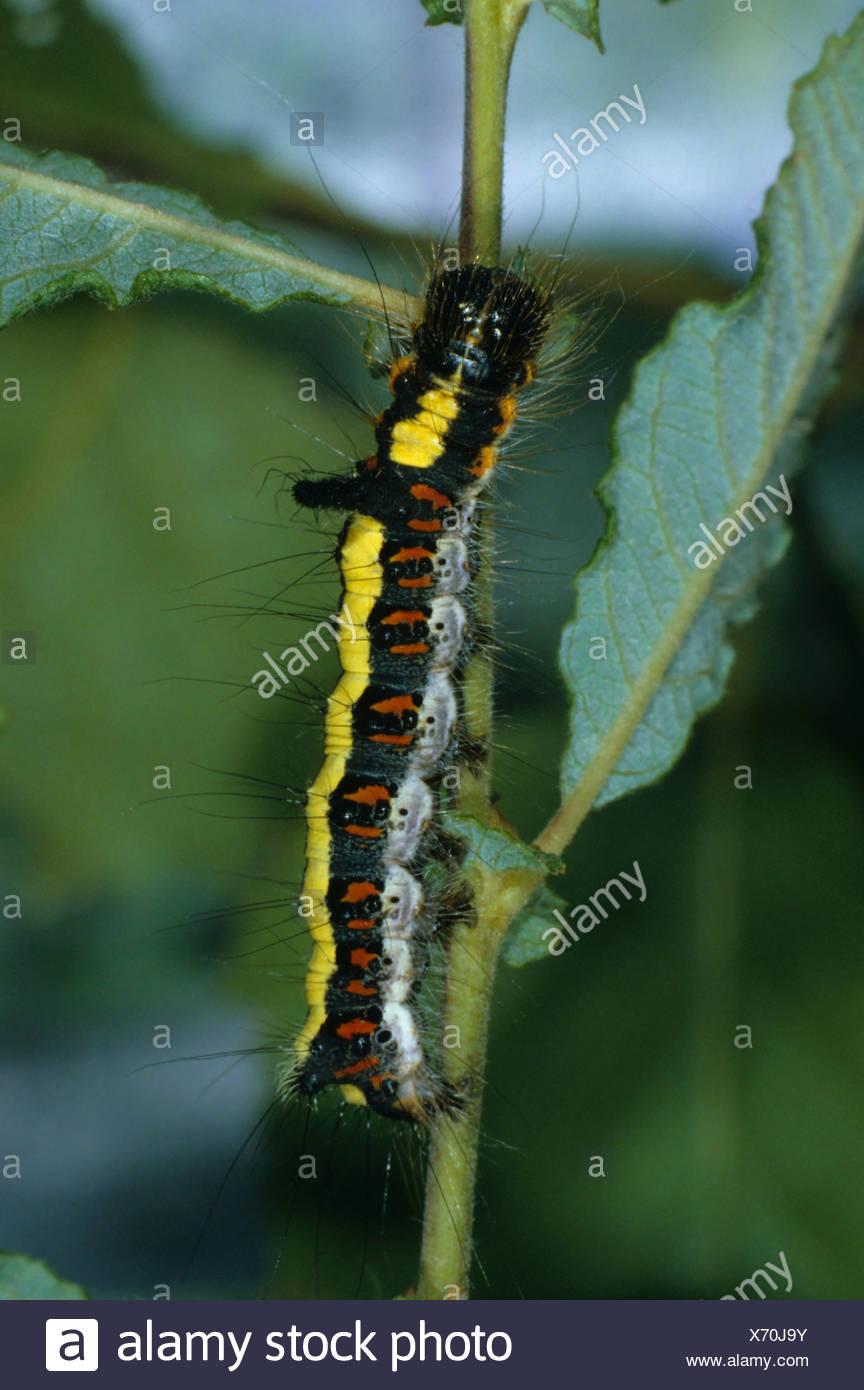 Caterpillar (Apatele psi), eating - Stock Image