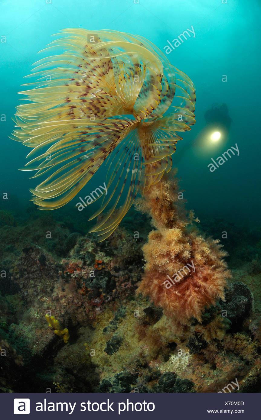 Feather Duster Worm and Scuba diver, Spirographis spallanzani, Piran, Adriatic Sea, Slovenia - Stock Image