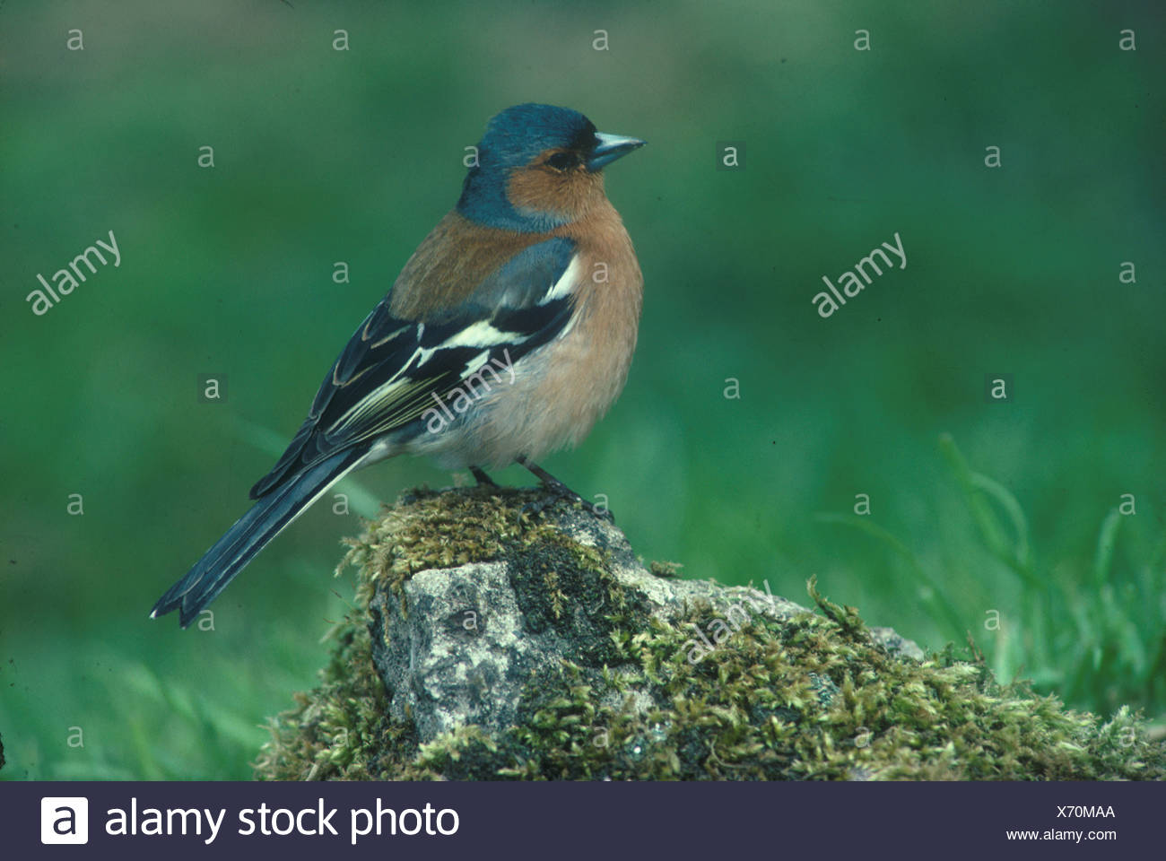 Chaffinch Fringilla coelebs Perched on rock moss on rock - Stock Image