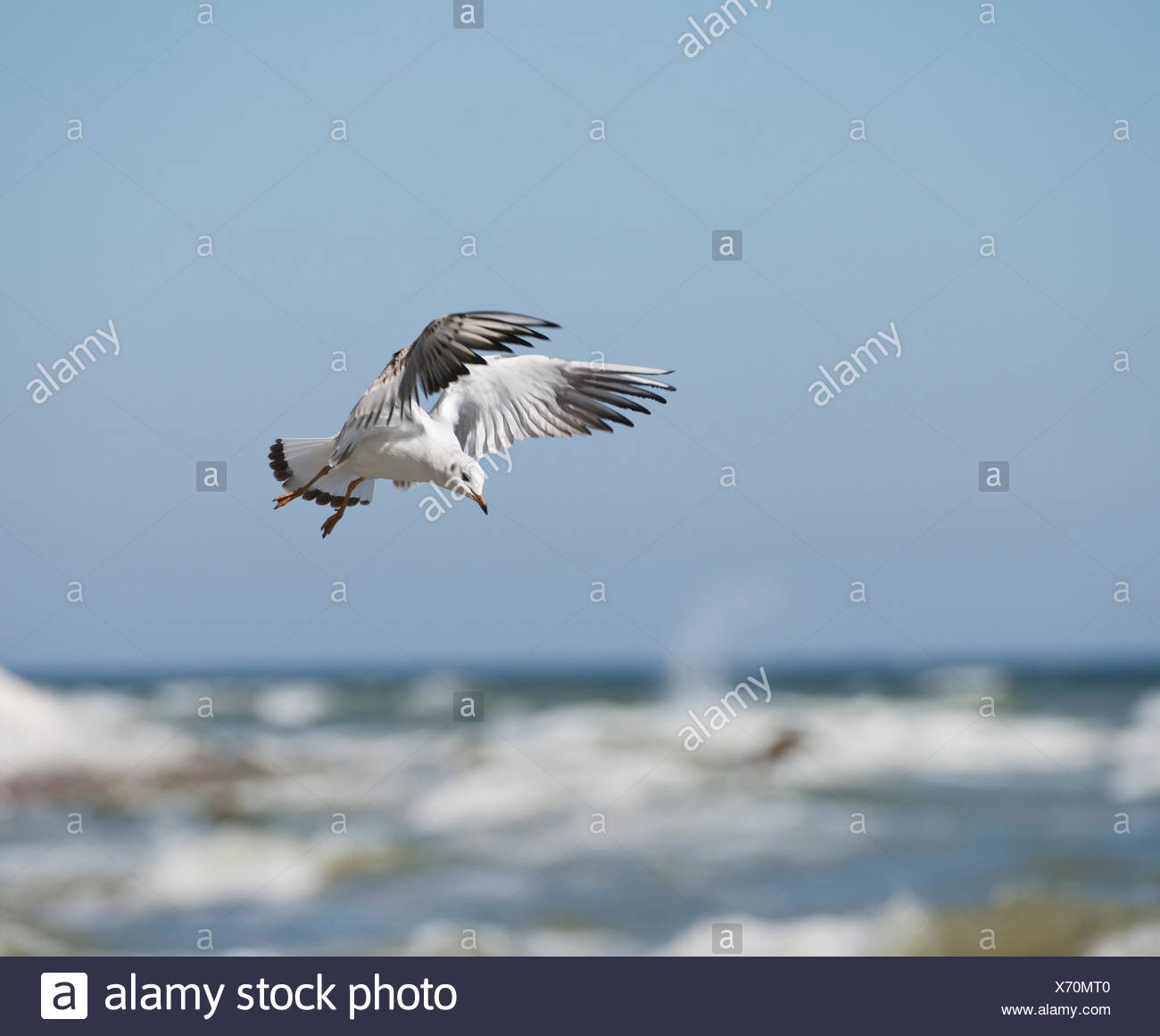 Black-headed Gull (Chroicocephalus ridibundus) in flight, Mecklenburg-Vorpommern, Germany Stock Photo