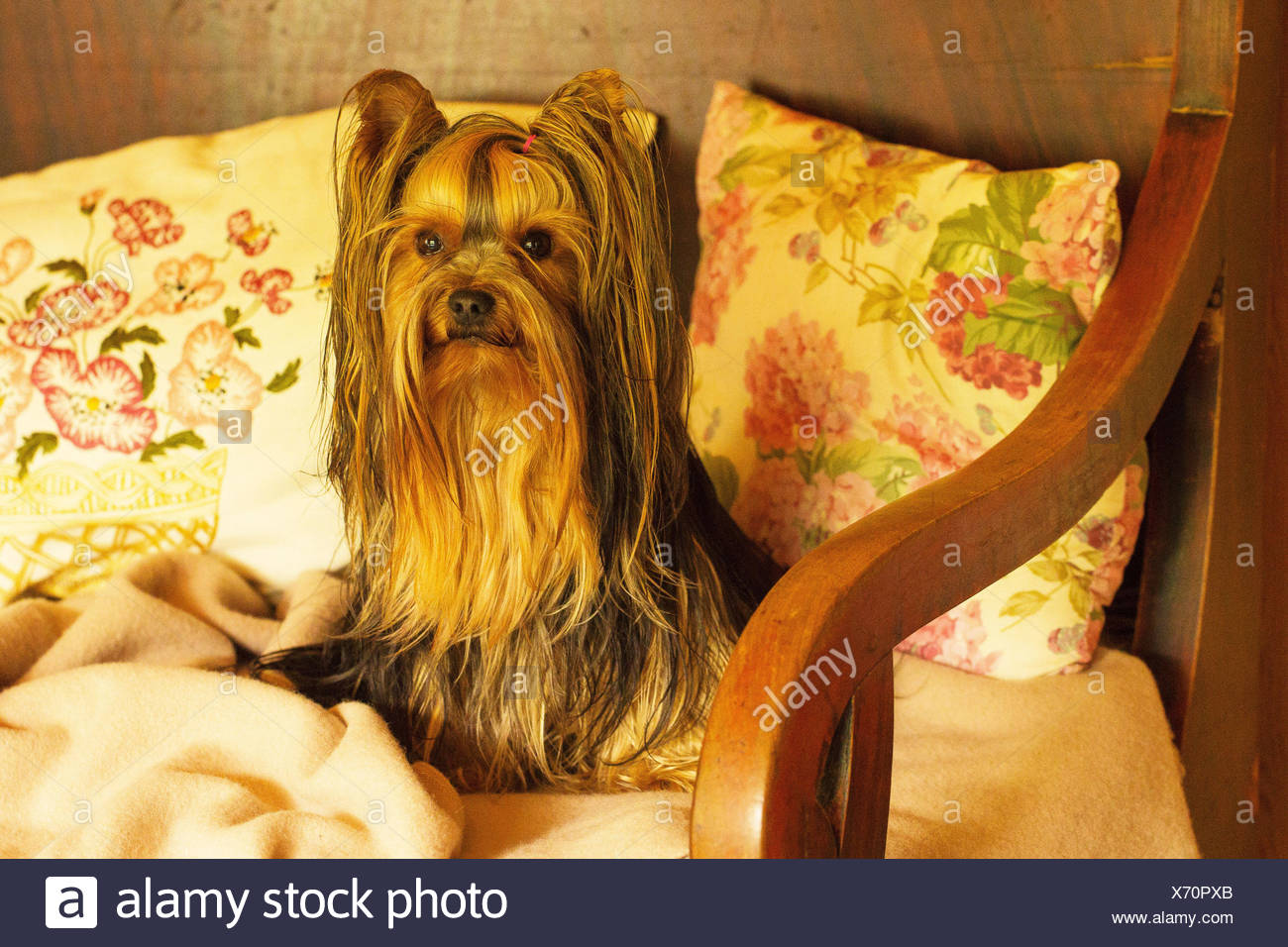 1 animal,Hund,Yorkshire Terrier,animal,beautiful,blanket,couch,cute,divan,dog,dog portrait,eyes,floral cushion,gaze,homely,long hair,look,nostalgia,nostalgic,pet,pillow,pillows,portrait,rural,rustic,shawl,sofa,terrier,vintage,wooden sofa,yorkie - Stock Image