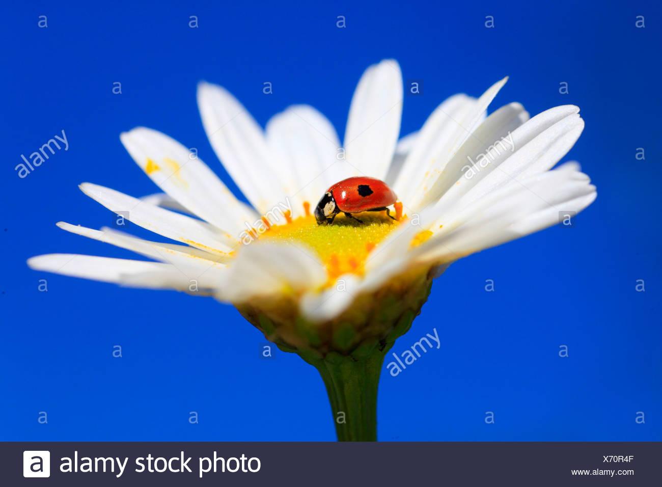 2, Adalia bipunctata, flower, flowers, blossom, flourish, Coccinellidae, detail, field, spring, garden, garden flower, marguerit - Stock Image