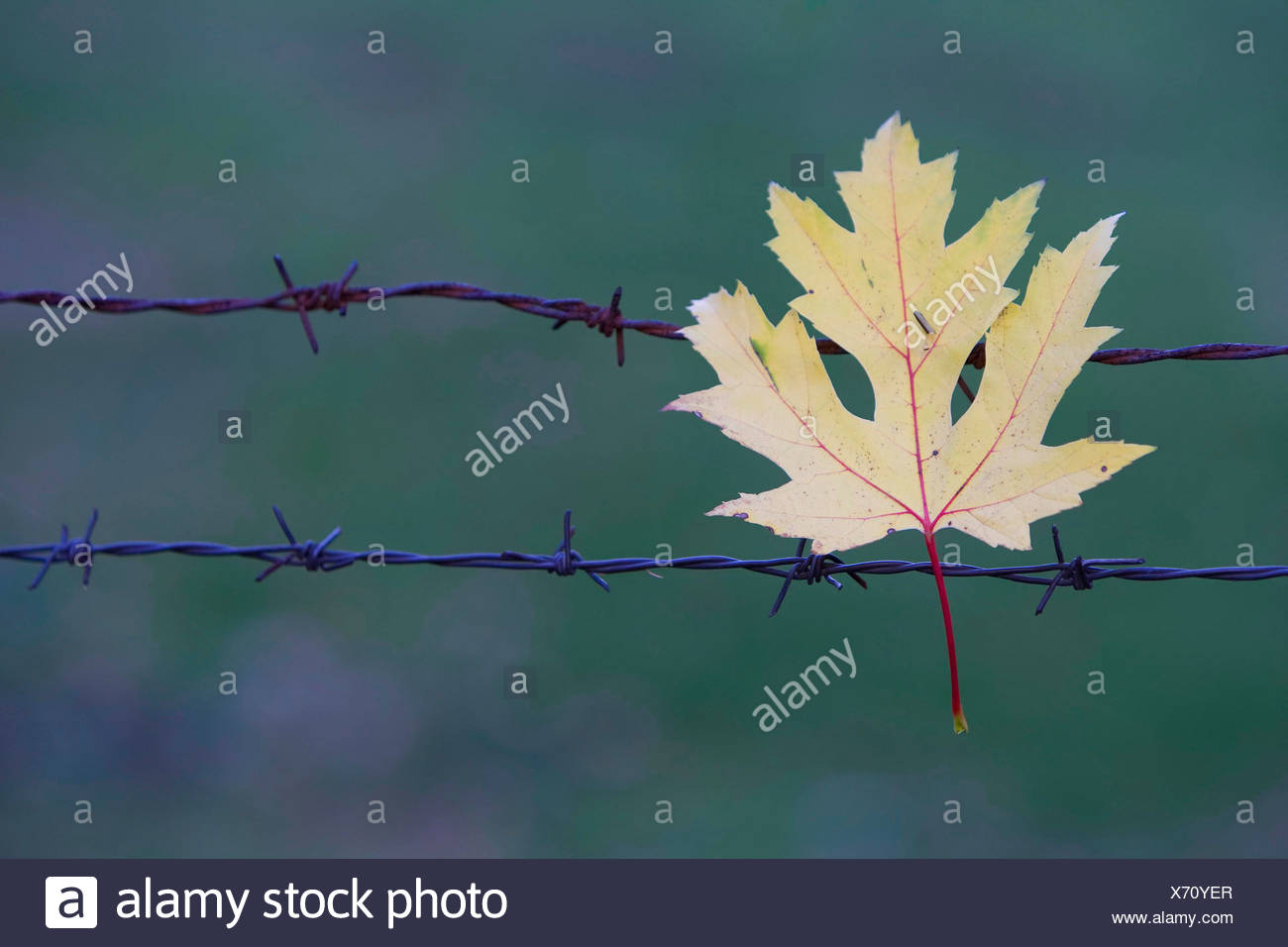 Maple leaf caught on a barbed wire fence. - Stock Image