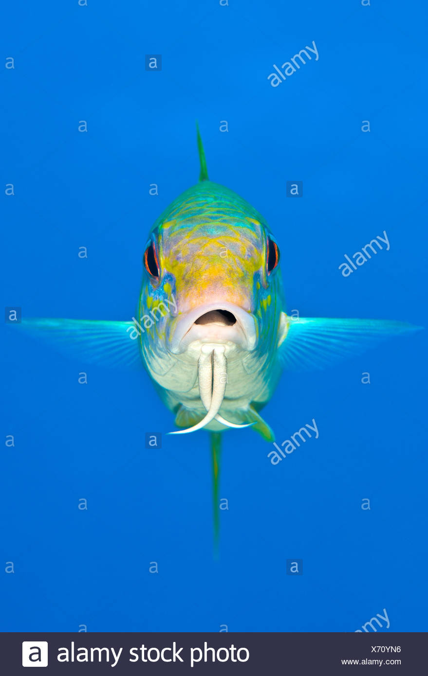 Yellow goatfish (Mulloidichthys martinicus) swimming above the reef, West End, Grand Cayman, Cayman Islands, British West Indies, Caribbean Sea. - Stock Image