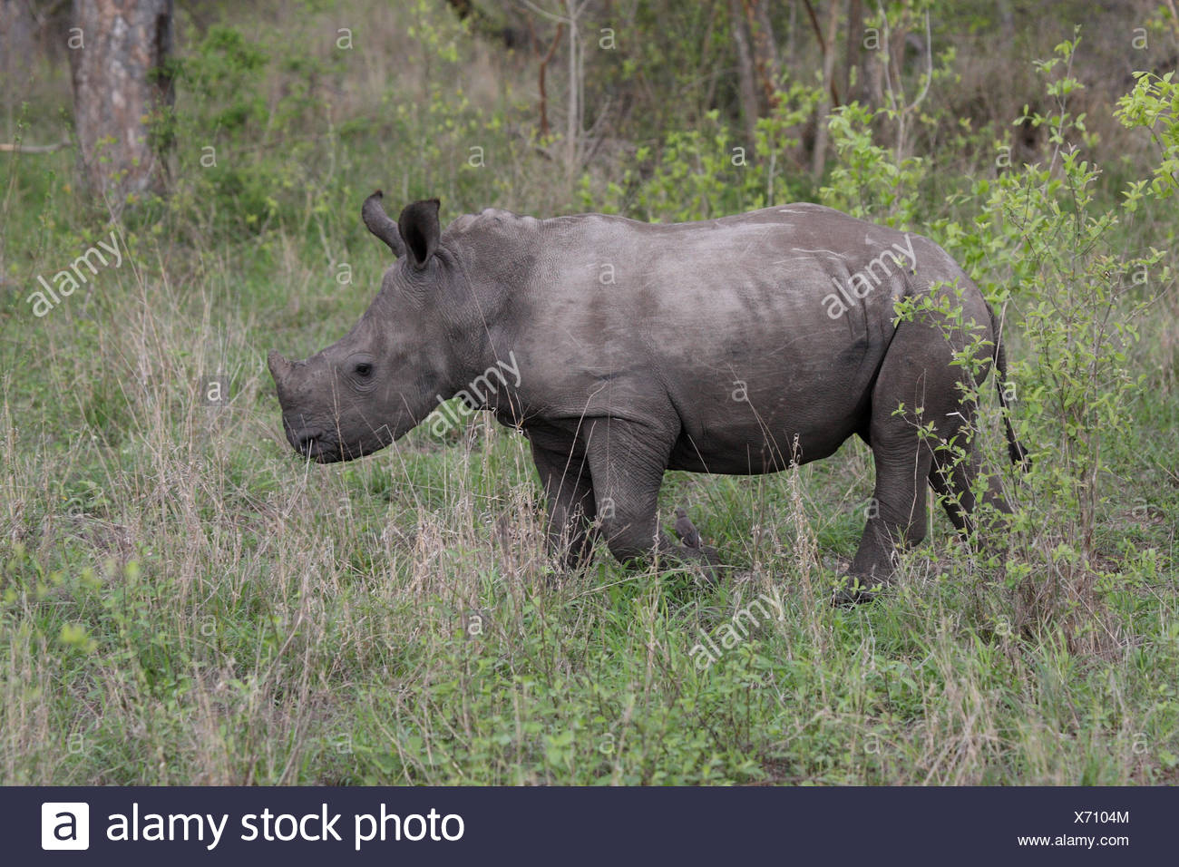 Young wide mouth rhinoceros, Square-lipped Rhinoceros, - Stock Image