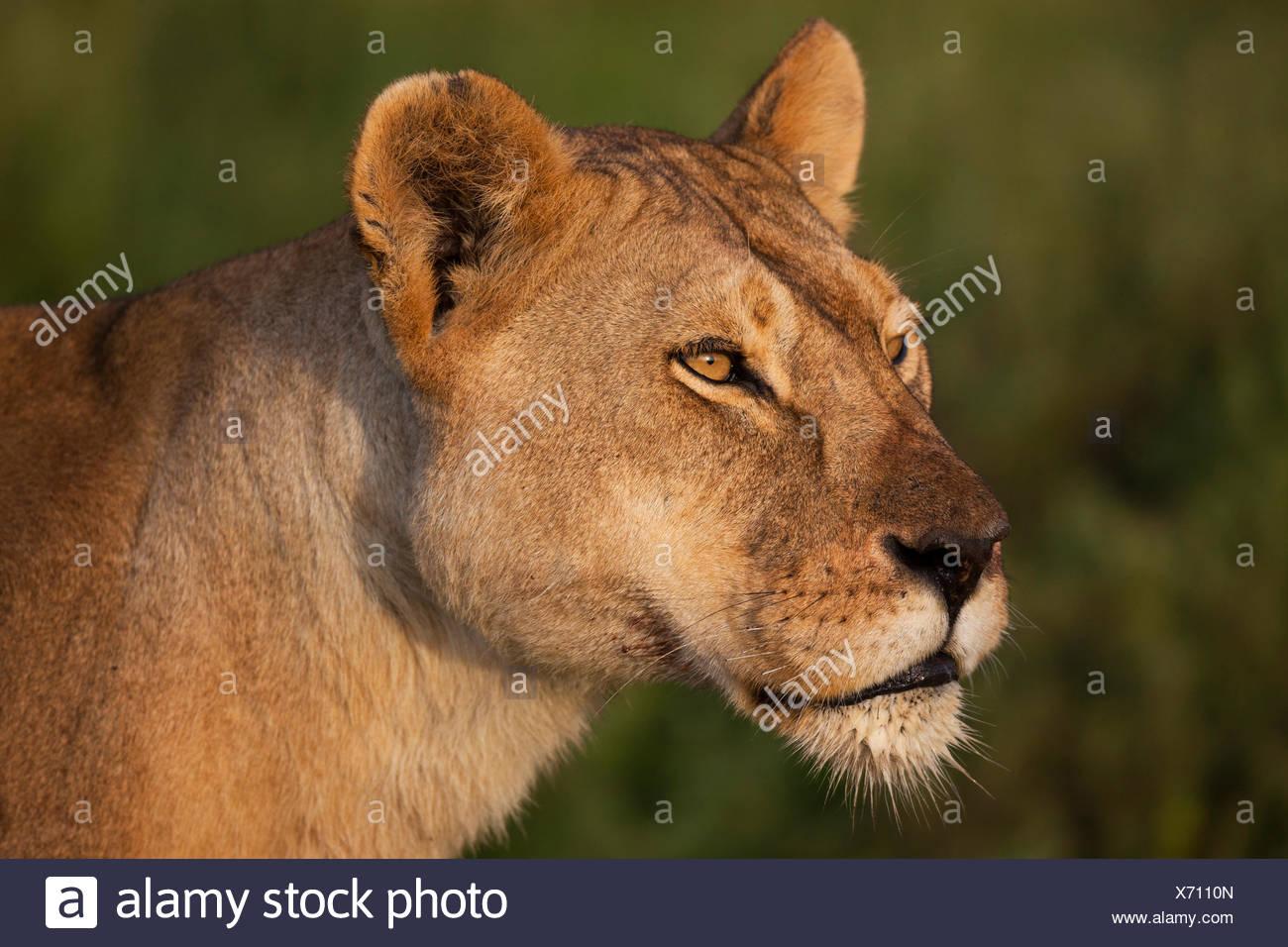 Lioness (Panthera leo), portrait, Serengeti, Tanzania - Stock Image