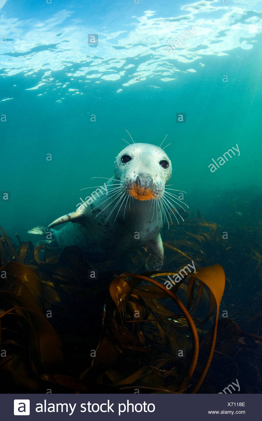A young Grey Seal (Halichoerus grypus) above kelp in the Farne Islands. This seal has an orange snout from foraging on a rusty ship wreck. Northumberland,  UK - Stock Image