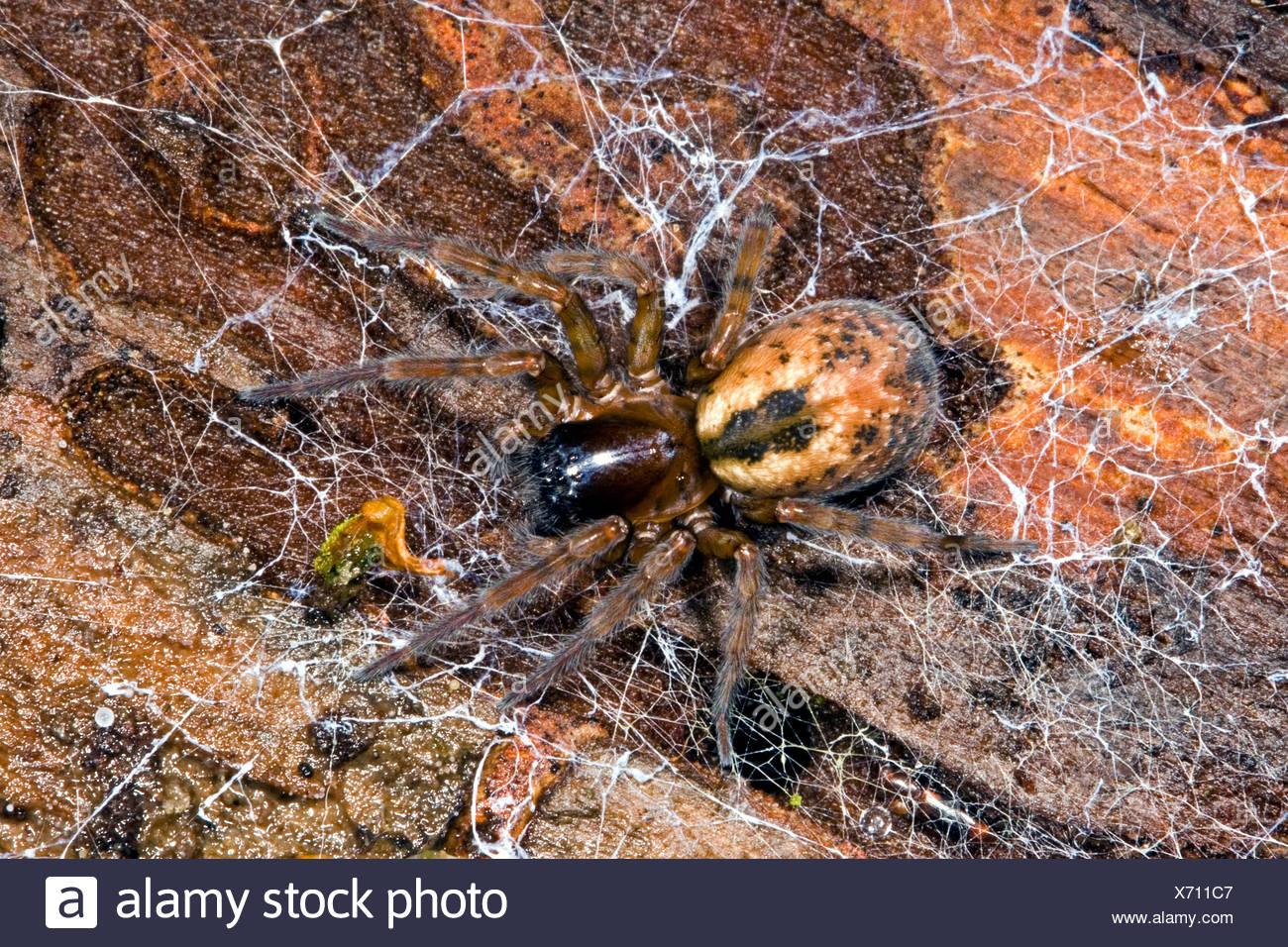 white-eyed spider (Amaurobiidae), from above - Stock Image