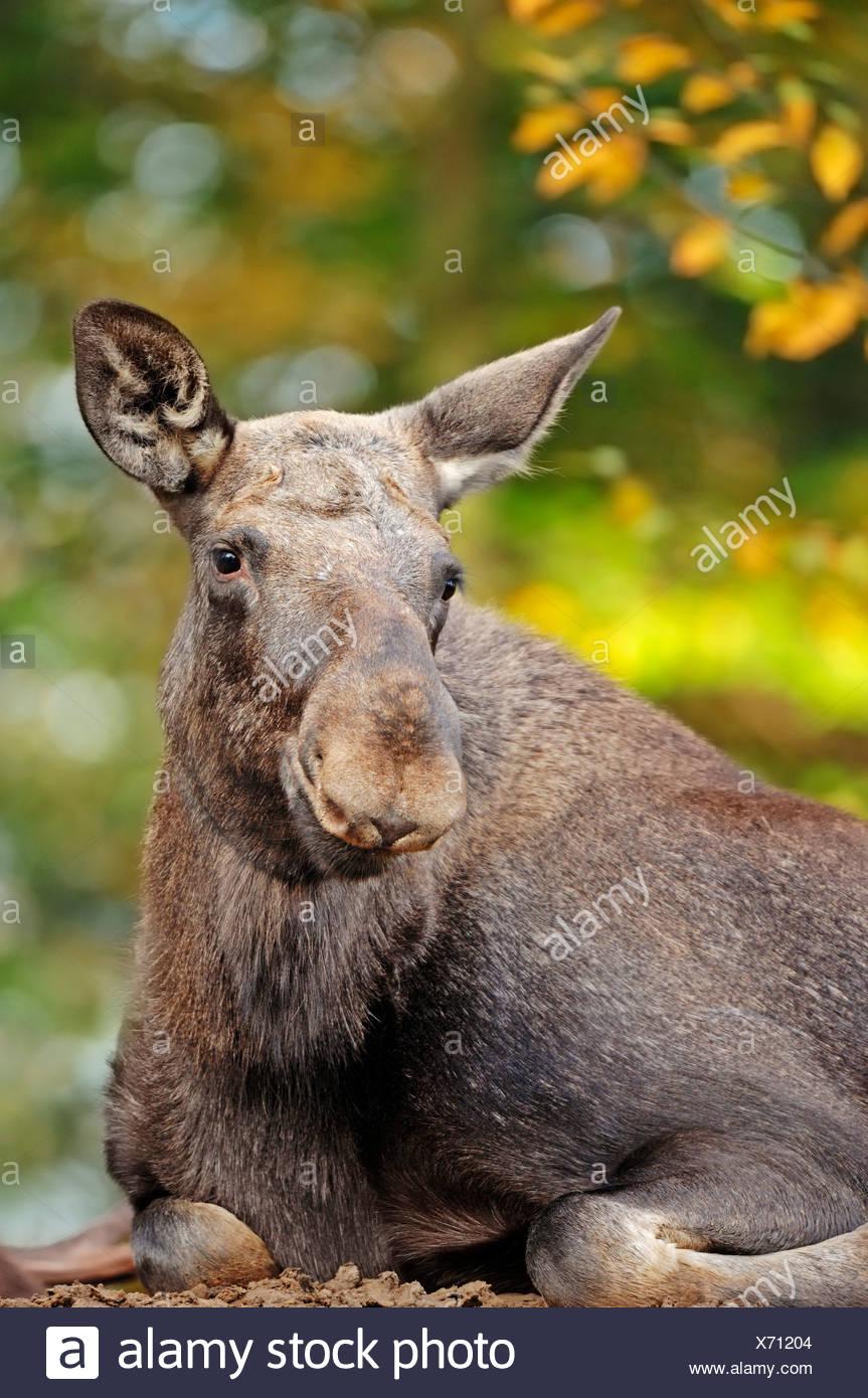 Eurasian elk - photo#36