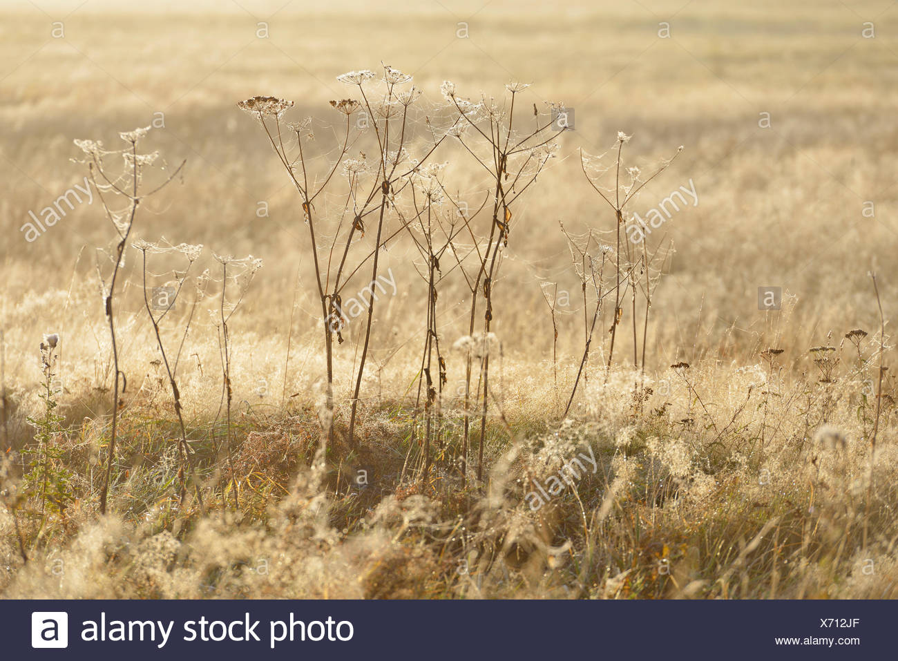 Old perennials in a meadow covered with spider webs and dewdrops, Stiege, Oberharz am Brocken, Saxony-Anhalt, Germany - Stock Image